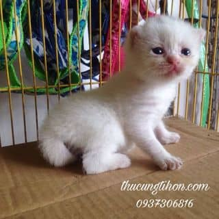 Mèo ALN của thucungtihon.com tại Hồ Chí Minh - 1971856