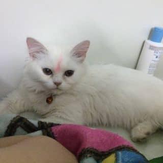 Mèo Anh sắp lên giống của nguyendanh32 tại Cần Thơ - 2845511