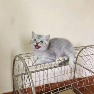 Mèo anh scotish  của hiepnguyen10 tại Hồ Chí Minh - 2890474