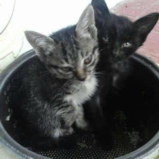 Mèo kity của nguyenhuong924 tại Cần Thơ - 1587425