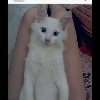 Mèo Nga lông dài🐱 của shirophanhh tại Thái Bình - 2964439