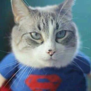 Mèo siêu nhân cần bán gấp phá quá của shinichi10 tại Shop online, Huyện Phú Tân, Cà Mau - 2897680