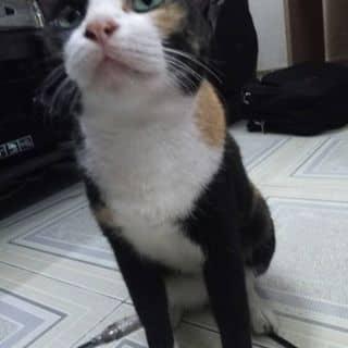 Mèo tam thể của dch34 tại Hồ Chí Minh - 1221035