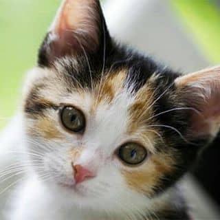 Mèo tam thể cái cầu tài. của samruby tại Cần Thơ - 1911436