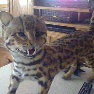 Mèo vằn của tranmanh26 tại Nghệ An - 1603589