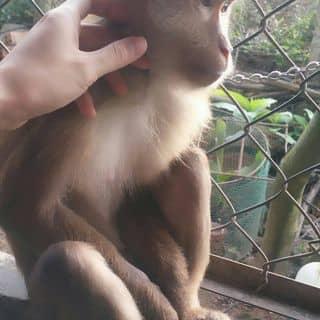 Monkey của oliver87 tại Quảng Trị - 2632552