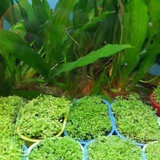 Ngọc trai lá nhỏ/cỏ nhật của vongan48 tại Hồ Chí Minh - 2699895