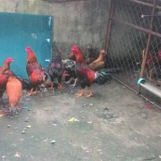 Nhà mình bán gà của schuoislug tại Hồ Chí Minh - 2237368