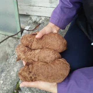 Nhận gạch bầy Poodle size toy tini của lylovely23061989 tại Hồ Chí Minh - 2824555