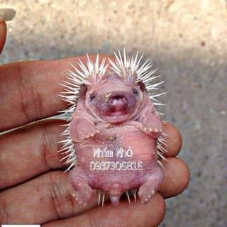 Nhím con cute  của thucungtihon.com tại Hồ Chí Minh - 860055
