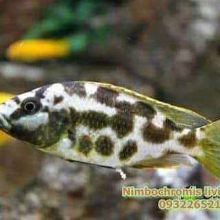 Nimbochromis Living của ktrinhkien1 tại Hồ Chí Minh - 2110217