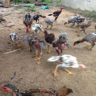 Ở đây có bán gà, bán ghẹ 😁😁😁 của quangbo1 tại Xã Đại Đình, Huyện Tam Đảo, Vĩnh Phúc - 2376207