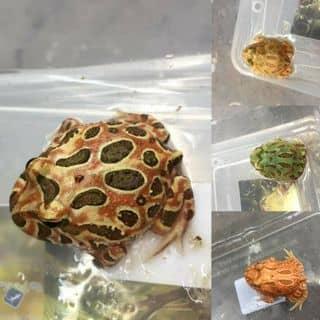 Pacman Frog của tobaccosweetstore tại Cần Thơ - 2157451