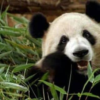 Panda của nguyentan290 tại Chợ Minh Lương, tt. Minh Lương, Huyện Châu Thành, Kiên Giang - 1617032