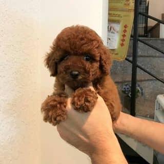 Pom&Poodle Thái của binbon_dogshop tại Hồ Chí Minh - 3361004