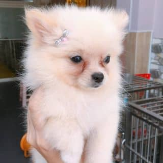 Pomeranian Thái có giấy tờ của conangdatinhconangdatinh36 tại Hồ Chí Minh - 2708534