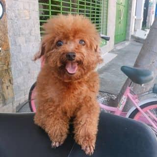 Poodle cái màu nâu đỏ của conangdatinhconangdatinh36 tại Hồ Chí Minh - 2406731