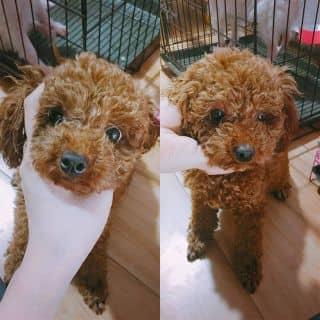 Poodle cái tiny màu nâu đỏ của conangdatinhconangdatinh36 tại Hồ Chí Minh - 2094198