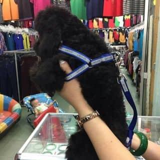 Poodle đen..... của hoanganh0503 tại Hồ Chí Minh - 3152533