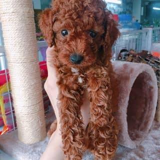 Poodle đực nâu đỏ của conangdatinhconangdatinh36 tại Hồ Chí Minh - 2216823