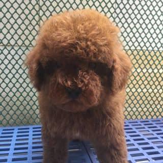 Poodle nâu đỏ cần bán 🐶🐶 của xungocnolove tại Hồ Chí Minh - 2096129