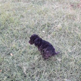 Poodle tiny 5 tháng của ngoquang0408 tại Hồ Chí Minh - 3409673