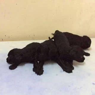 Poodle tiny đen..... của hoanganh0503 tại Hồ Chí Minh - 3152546