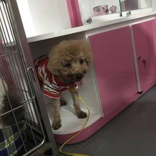 Poodle tiny đực của cuongduc34 tại Hồ Chí Minh - 2996101