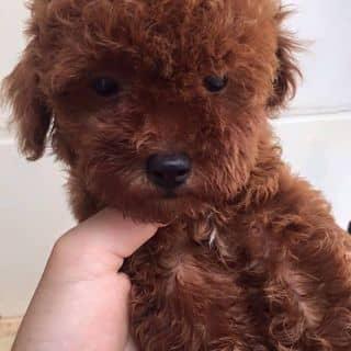 Poodle tiny nâu đỏ  của beosieudan tại Hải Dương - 1638919
