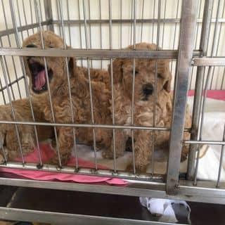 Poodle vàng mơ 💓💓 của quynhnhu960 tại Tân phú , Quận Tân Phú, Hồ Chí Minh - 2857465