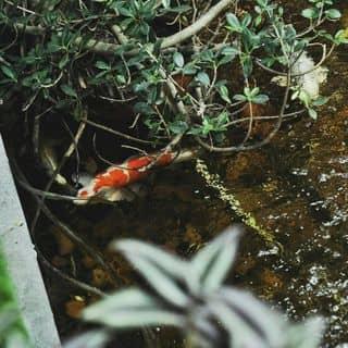Quán cafe đẹp có hồ cá Koi tuyệt vời của kunhouse tại 193A/D3 Nam Kỳ Khởi Nghĩa, Quận 3, Hồ Chí Minh - 2903498