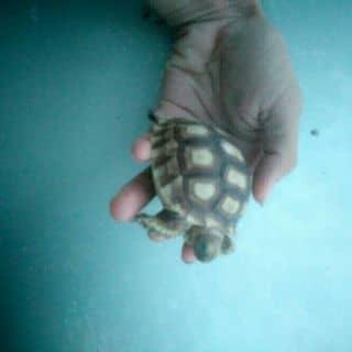 Rùa sulcata của long1101 tại Bình Dương - 1107203