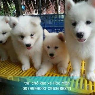 Samoyed puppies của nguyenhieu1027 tại Hồ Chí Minh - 2527436