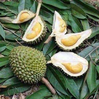 Sầu riêng mini thái lan của ainhien1 tại Kiên Giang - 3453150