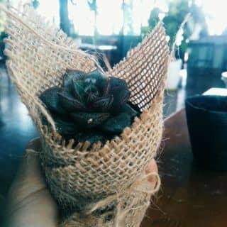 sen đá hoa hồng đen của killboy1911 tại Lâm Đồng - 2080923