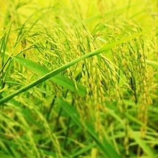 Sữa gạo của sangthe4 tại Hồ Chí Minh - 3342309
