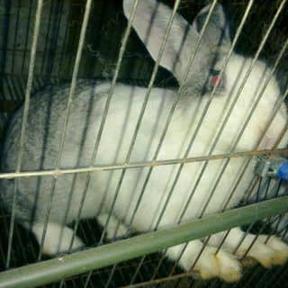 Thỏ giống của baonamqn tại Quảng Ninh - 2194286