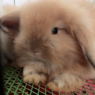 Thỏ minilop của wonderlandnthm tại Hồ Chí Minh - 2939636