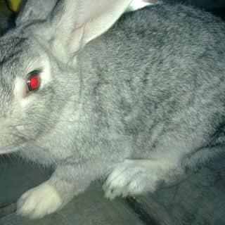 Thỏ thịt của baonamqn tại Quảng Ninh - 2624188