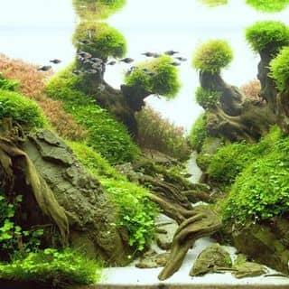 Thủy sinh của thanhtran191 tại Yên Bái - 1227794