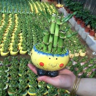 Trúc may mắn của camlyvuonhoa tại Lâm Đồng - 1264660