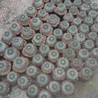 Xuong rồng kiểng của nguyenlamduc tại Vĩnh Long - 2440731